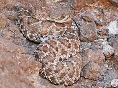 Crotalus lorenzoensis