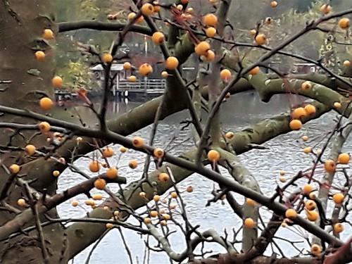 Pflaume (Prunus domestica s.l.) (2)