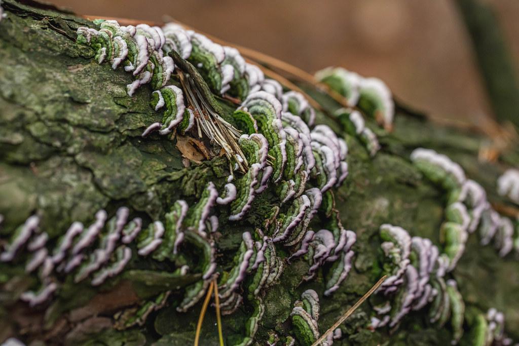 Tree mushrooms on bark with moss