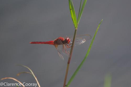 DSC_6244 (Oriental Scarlet,male)