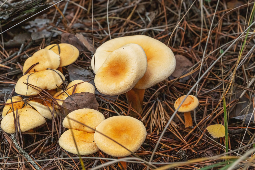 A group of wild yellow mushrooms grow in the forest