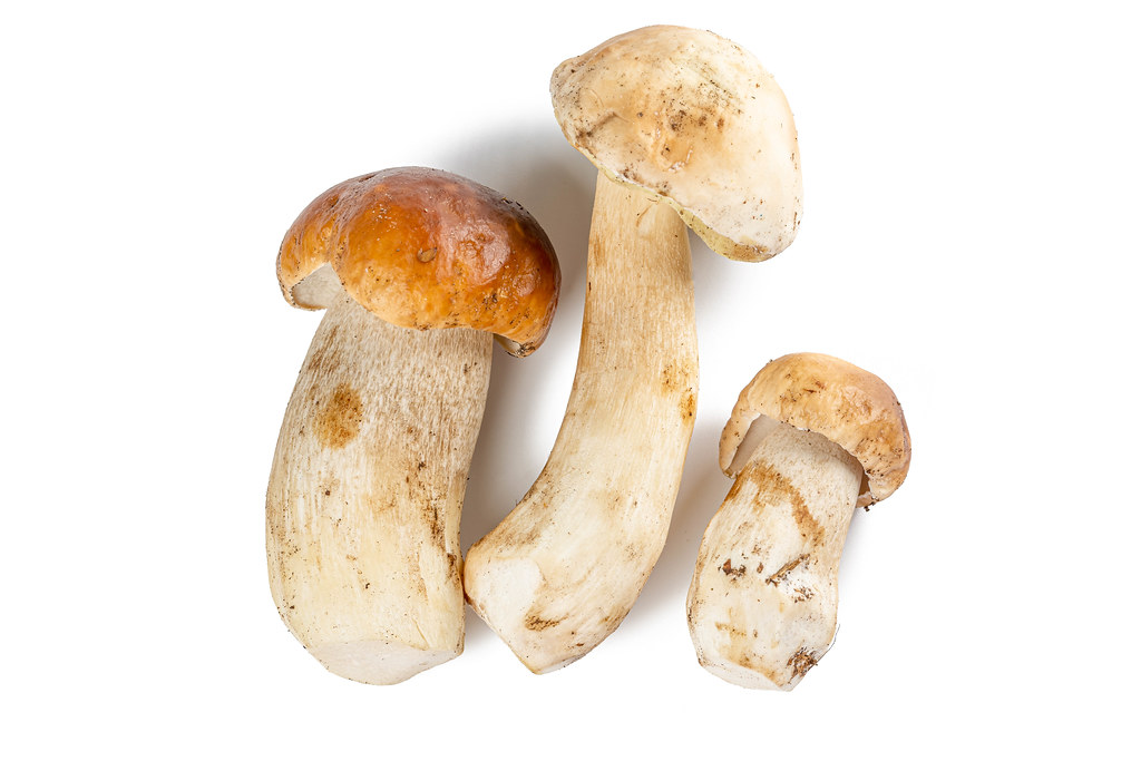 Fresh wild porcini mushrooms on a white background