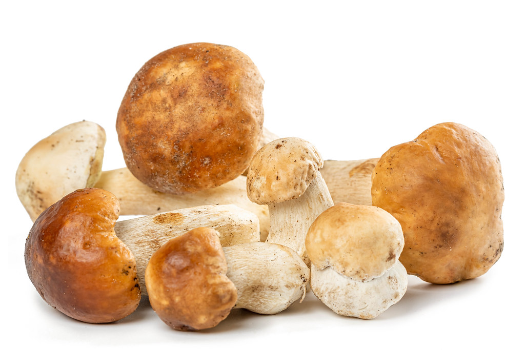 Forest porcini mushrooms on a white background