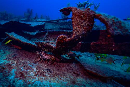 lobster under wreck