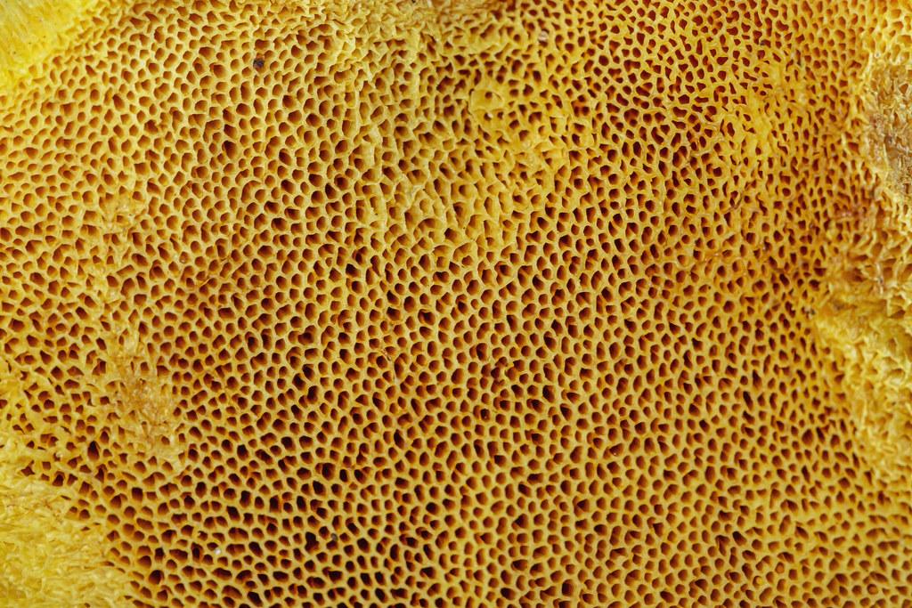 Close-up, bottom of a cap of a mushroom oiler