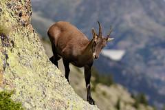 Animaux des Alpes - Alps wildlife