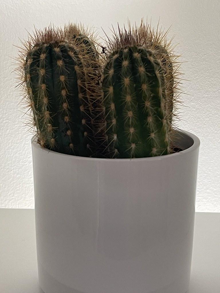Kaktus 12 Max