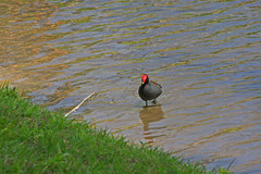 Common Moorhen, Retention Pond, Dunedin, Florida (2 of 4)