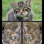 Scottish Wild Cat by Trevor Chapman