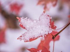 Zion National Park Autumn Colors Fall Foliage First Snow Fuji GFX100 Fine Art Landscape Photography! Utah Autumn Snow! Elliot McGucken Master Medium Format Nature Photographer Fuji GFX 100 & Fujinon FUJIFILM GF 120mm f/4 Macro R LM OIS WR Lens