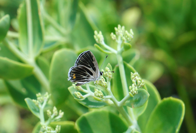 Garden stonecrop (with butterfly)