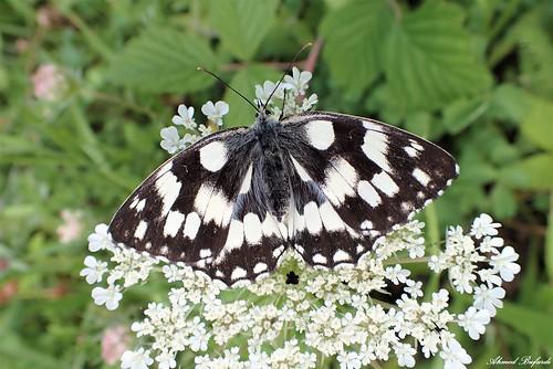 Butterfly 2116 (Melanargia galathea)