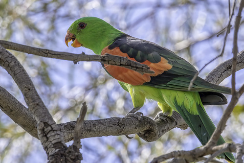 Red-winged Parrot