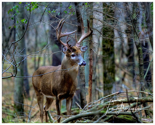 Majestic Whitetail Buck
