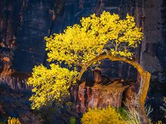 Temple of Sinawava! Zion National Park Autumn Colors Fall Foliage First Snow Fuji GFX100 Fine Art Landscape Photography! Utah Autumn Snow! Elliot McGucken Master Medium Format Nature Photographer Fuji GFX 100 & FUJIFILM GF FUJINON R LM WR Lens!
