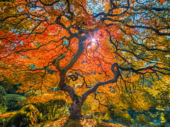 Japanese Maple Tree Mixed Autumn Colors Oregon Fall Foliage: The Tao of the Portland Japanese Garden: Yellow Orange Green Red Leaves Fine Art Landscape Nature Photography! Fuji GFX 100 ! Elliot McGucken 45EPIC Fujifilm GFX100 & Fujinon GF Wide Angle Lens!