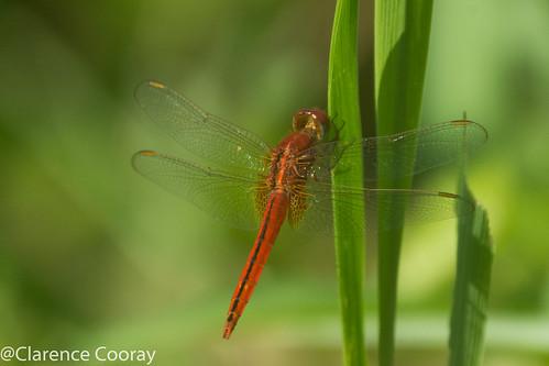 DSC_7743 (Oriental Scarlet, male)