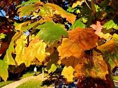 Multicolored Leaves