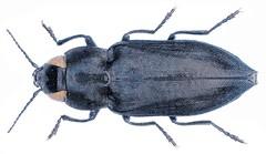Melanophila cuspidata (Klug, 1829)