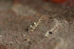 Prodoxidae
