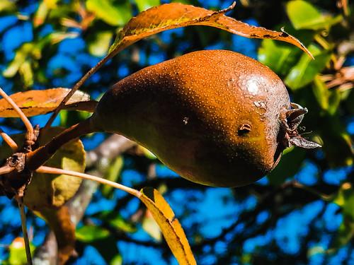 Pear (1450)
