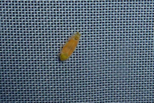 Cicadellinae