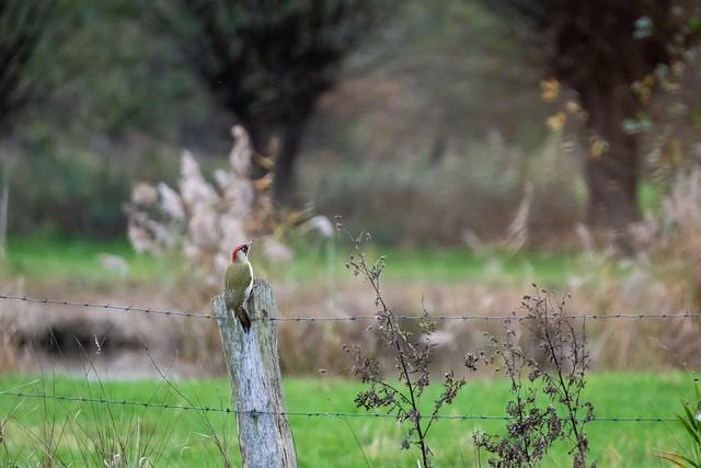 Grünspecht / Green Woodpecker, Süchteln