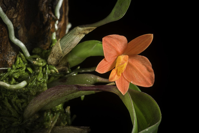 Photo:Cattleya sp. (Soph. riograndensis type) By sunoochi
