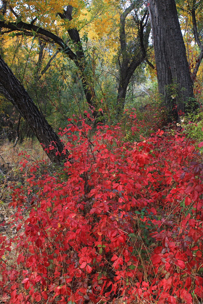 The Poison Oak is Beautiful This Time of Year