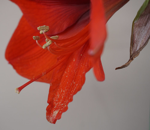 Hippeastrum hybridum 'Orange Sovereign' at home.