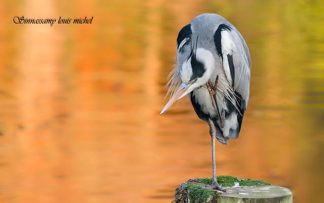 Grey heron / Héron cendré