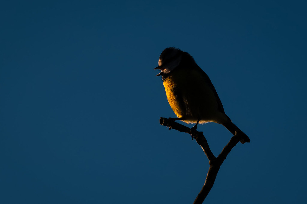 Blue Tit Side-lit By The Late Afternoon Sun