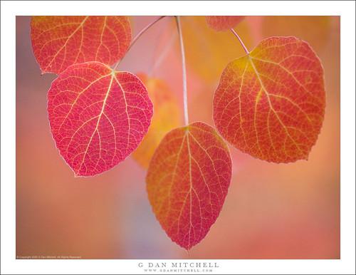 Autumn Aspen Leaves Cluster