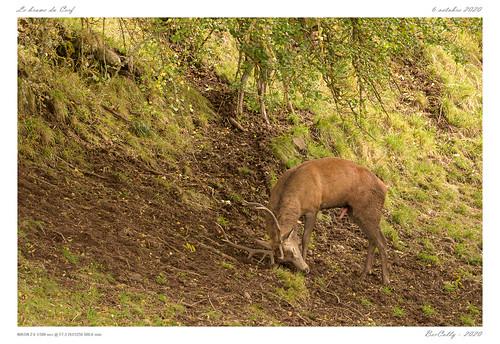 Le cerf   The deer