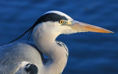 Grey Heron close up