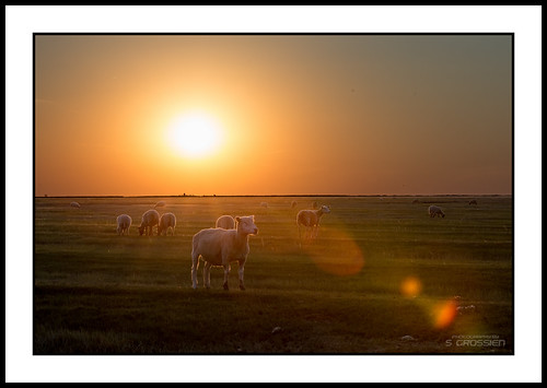 Sheep at Sunset in the Salt Marshes