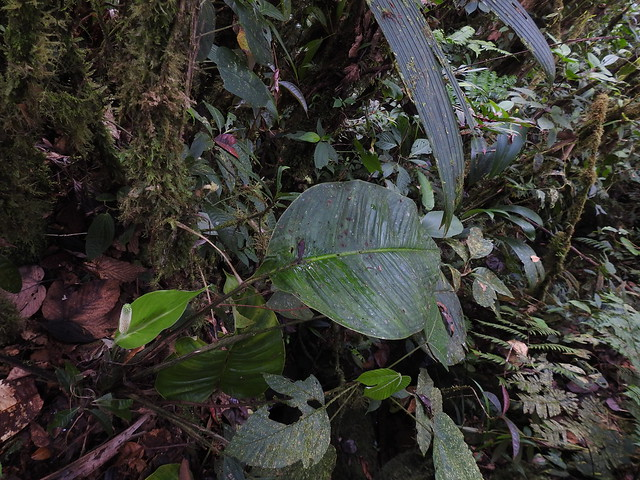 Photo:Araceae Spathiphylum sp. RNA Pangan -Bosque Pluvial Tropical - Barbacoas Nariño Juan carlos Luna (1) By ProAves Colombia