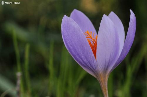 Simply saffron