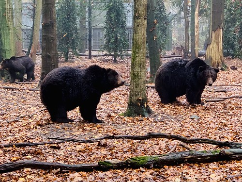 Bears and Wolves in a Gloomy Autumn Forest
