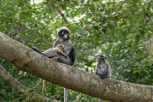 Dusky Leaf Monkey family