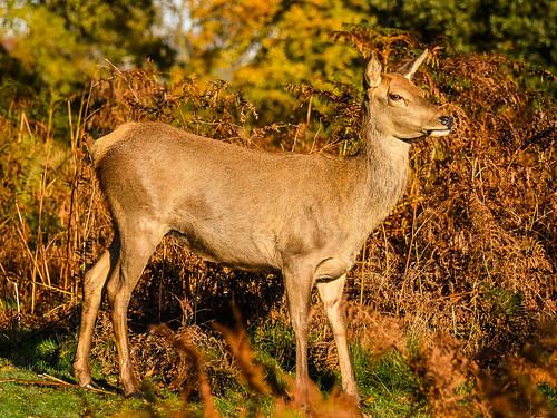 Female Red Deer, Bushy Park, Hampton