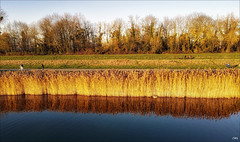 Joncs d'or - Photo of Champs-sur-Marne