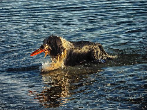 The Baltic Sea dog