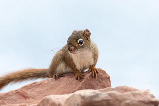 Écureuil roux   Iles de la Madeleine