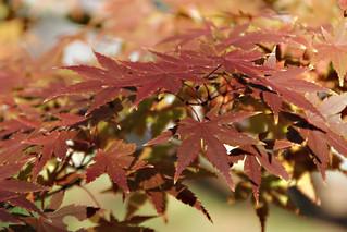 Japanese Maple (Explored)