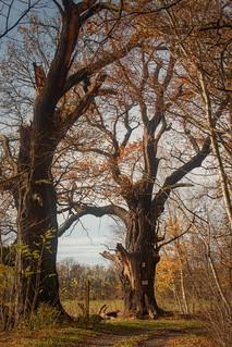 Eine alte Eiche im Spreewald
