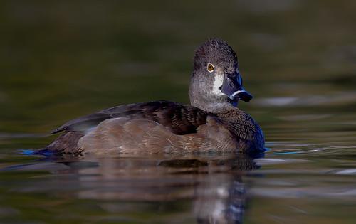 Female Ringneck Duck