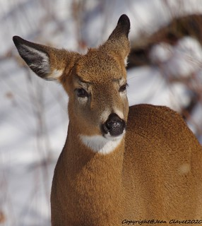 Cerf de Virginie/ White-tailed deer