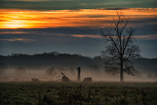 Cattle at Dawn