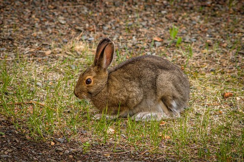 Snowshoe Bunny Looking for Early Greens